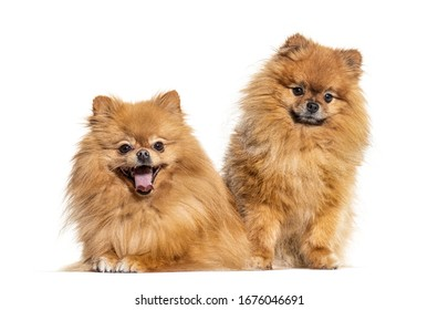 Two Pomeranian dogs, isolated on white