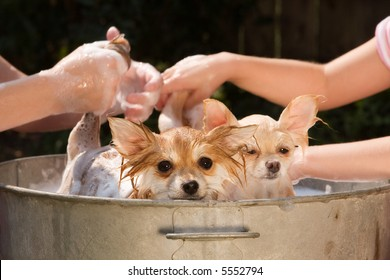 Two Pomeranian puppies being washed in an old tin tub.