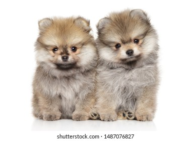 Two Pomeranian Spitz puppies sitting on a white background