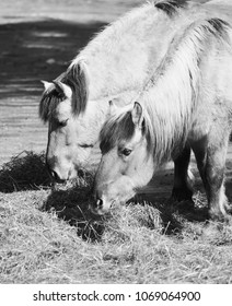 two ponies stand in the hay and eat in black and white