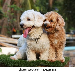 two poodle dogs sitting on nature background