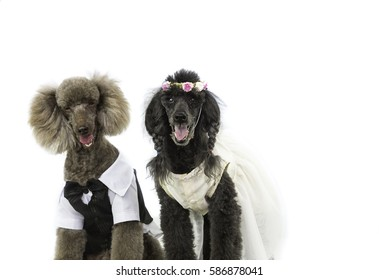Two poodle dogs in wedding attire looking upset