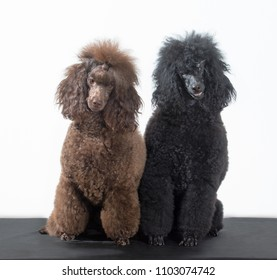 Two poodles dogs, black and brown portrait sits on isolated white background, Looking at the camera.