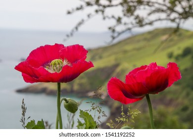 Two Poppies by the Sea
