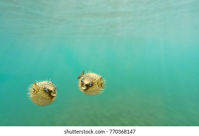 Two porcupine fish, also commonly called blowfish, balloonfish and globefish swimming underwater