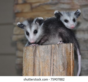 two possums on pedestal