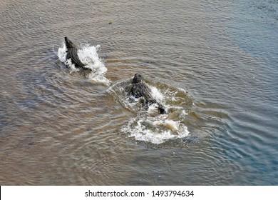 Two powerful crocodiles racing through shallow waters.