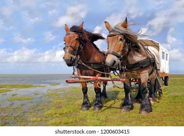 Two powerful horses on the windy beach of the Frisian island Schiermonnikoog.