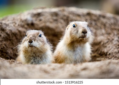 Two prairie dog on the look out