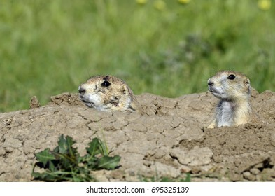 Two prairie dogs peering out of the safety of a hole surrounded by dirt and grass.