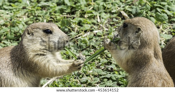 two prairiedog or cynomys  sitting in the sand eating grass