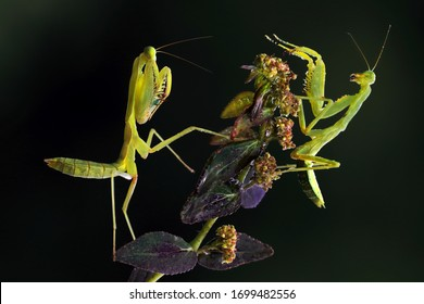 The two Pray Mantis are fighting