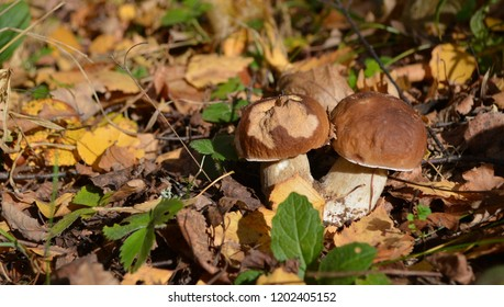 Two pretty accreted cepe (boletus edulis) mushrooms hidden in the dry brown foliage of an autumn forest in October in Russia, Moscow Region