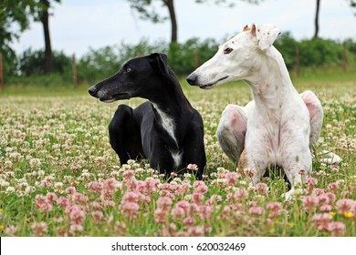 two pretty galgos in a clover field