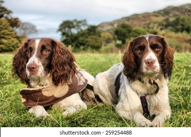 two pretty liver and white working type english springer spaniel pet gundogs