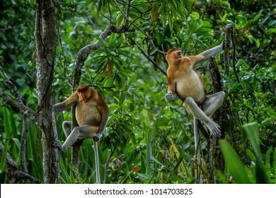 Two proboscis (Bekantan / Nasalis larvatus) monks are eating the foliage on Bakut island, South Kalimantan, Indonesia.