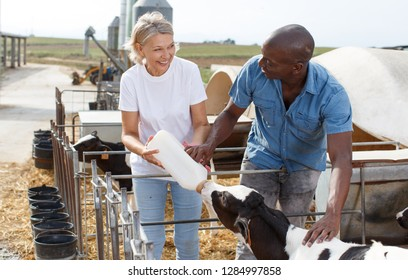 Two proffesional farmers is feeding newborn calf from bottle at cow farm outdoor