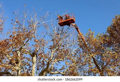 An einem sonnigen Herbsttag schneiden zwei Beschneider auf einer Arbeitsplattform die Äste oben auf einem hohen Plateaubaum.