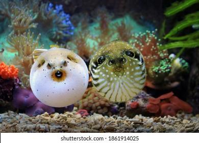 Two pufferfish at corel reef