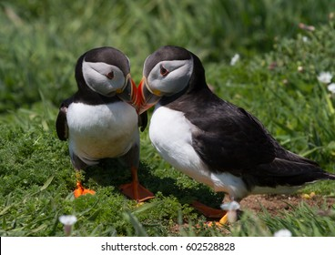 Two Puffins showing affection