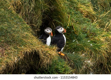 Two Puffins standing and looking out from their nest on the Sheatlands islands in Scotland