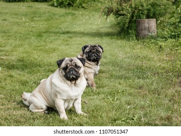 two pug dogs sitting on the green lawn