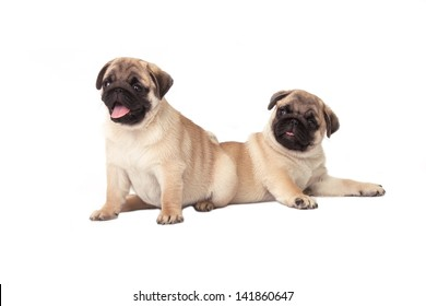 Two pug puppy on white background