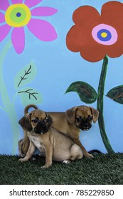 Two Puggle Puppies Cuddling in front of a Blue Background with Huge Painted Flowers