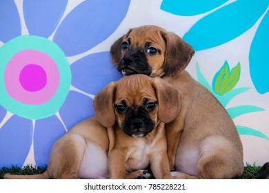 Two Puggle Puppies Cuddling One on Top of the Other in front of a Background with Hand-painted Daisy Flowers