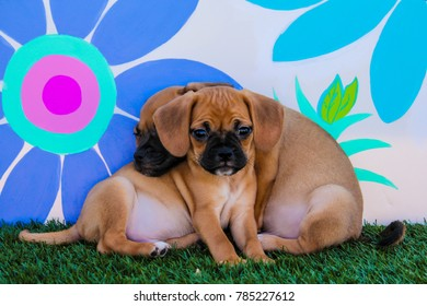 Two Puggle Puppies with One Sleeping  on Top of the Other in front of a Background with Hand-painted Daisy Flowers