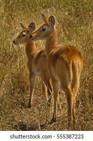 Two Puku standing side by side on the dry plains in Chobe National Park, Botswana, Southern Africa