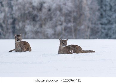 two pumas in snow, winter scene with two young pumas, attractive scene with two pumas