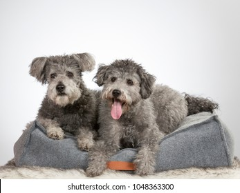 Two pumi dogs. Image taken in a studio with white background.