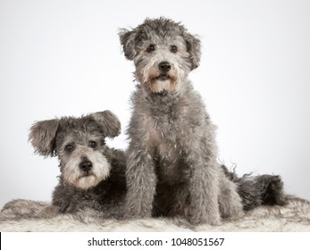Two pumi dogs in a studio. The breed is also known as Hungarian shepherd dog. Image taken in a studio with white background.