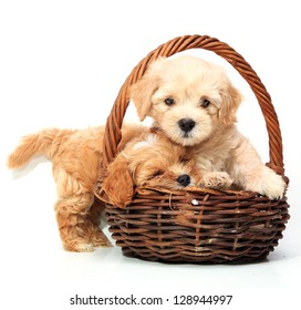 Two puppies in basket on white background