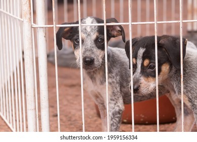 Two puppies behind a fence in an animal shelter. Both of them looks like a blueheeler.