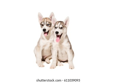 Two puppies breed the Huskies isolated on white background