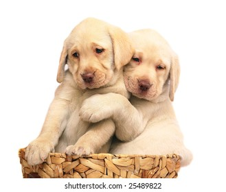 Two puppies of breed Labrador a retriever in a basket. Puppies on a white background.