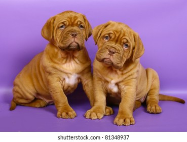 Two puppies of breed a mastiff from Bordeaux on a purple background.