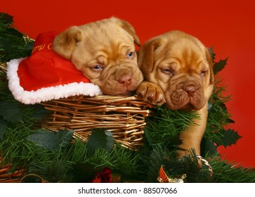 Two puppies of breed a mastiff from Bordeaux in Christmas sledge on a red background.