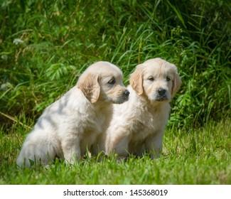 two  puppies of golden retriever