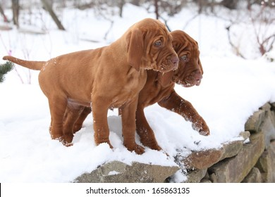 Two puppies of Hungarian Short-haired Pointing Dog together in winter