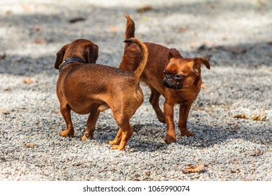 Two puppies playing outdoor