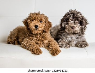 two Puppies posing on a white couch