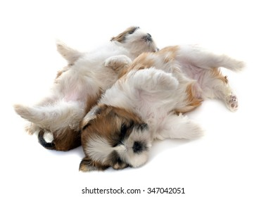 two puppies shitzu in front of white background