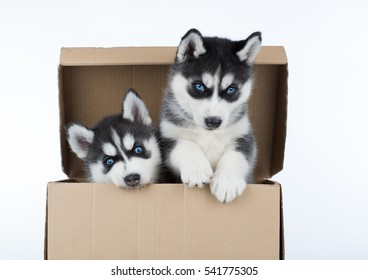 two puppies of Siberian husky in box
