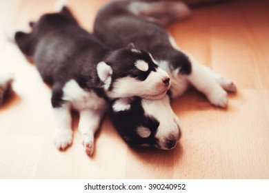 two puppies Siberian Husky. Litter dogs sleeping on the floor of the house. Little puppies.