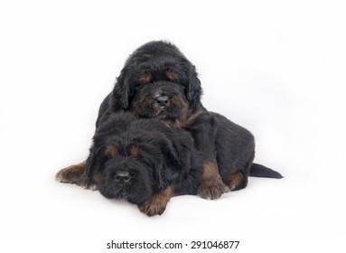 Two Puppies Tibetan Mastiff