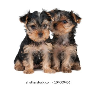 Two puppies of the Yorkshire terrier isolated on white
