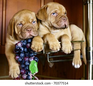 Two puppy dog from Bordeaux grapes.